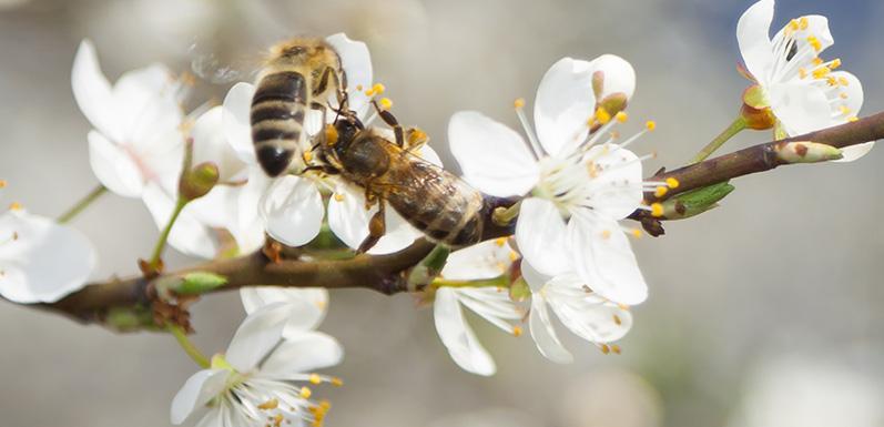 Three Impacts Honey Bee losses have on the Economy