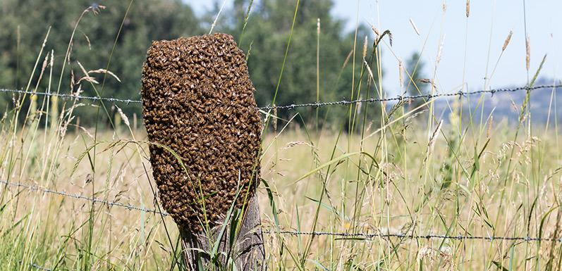 Use This One Strange Trick To Catch A Swarm This Season