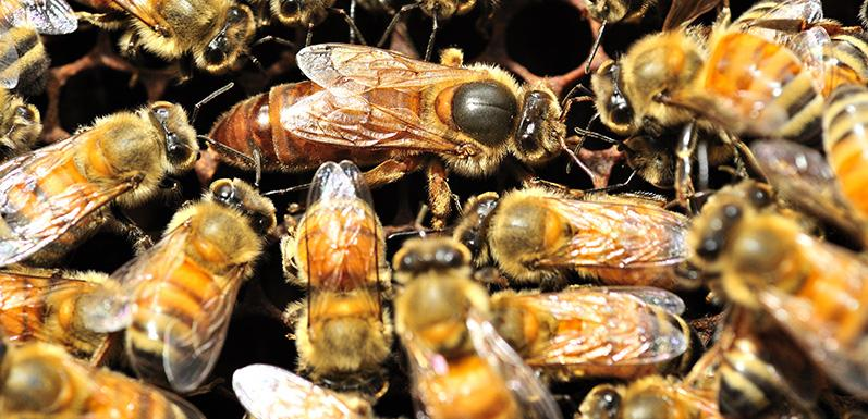 The 10 Most Amazing Honey Bee Facts Ever