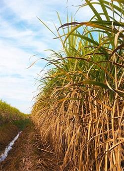 Sugar cane used for molasses
